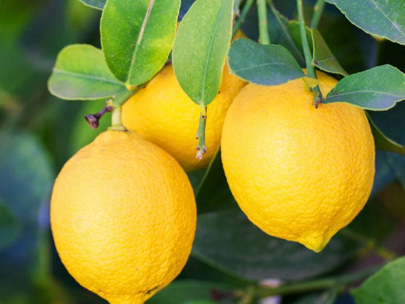 lemon-organic2